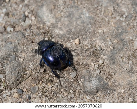 Close-up of dor beetle, Anoplotrupes stercorosus top view. Earth-boring dung-beetle on the ground of granular sand and dust. Close up of blue bug insect. Selective focus, copy space Stockfoto ©