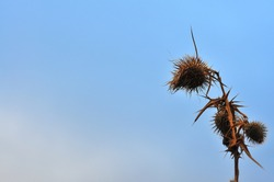 Close-up of dried thistle