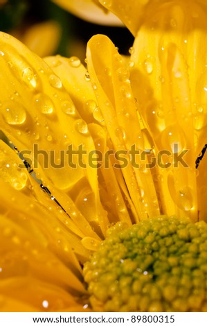 Close up of drops of water  on yellow chrysanthemum flower petal