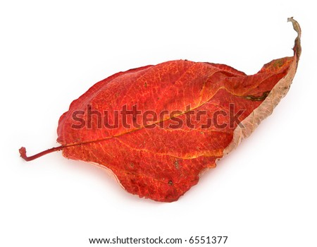 close-up of dry autumn leaf against white, minimal natural shadow in front