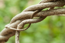 Close up of dry vine in summer, Blur background.