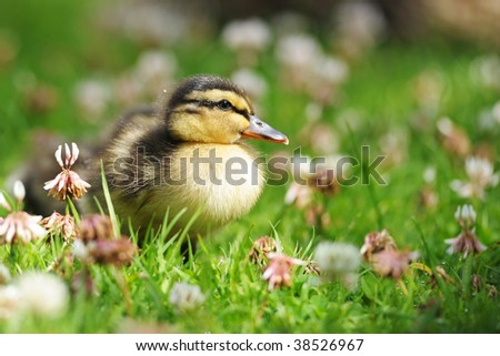 close up of duckling in grass