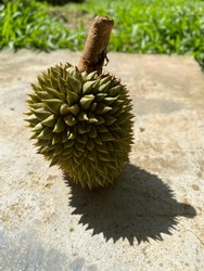 Close up of durian fruit and shadow on the ground. Durian fruit king of fruits.