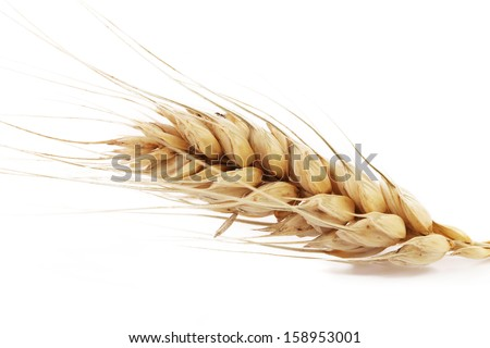 Close up of ear of wheat. Isolated on a white background.