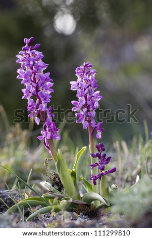 Close-up of early-purple orchid,