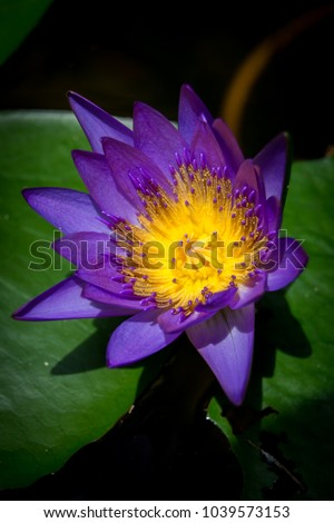 Free photos purple flower with yellow center avopix close up of egyptian lotus waterlily purple flower with yellow centre green leaves mightylinksfo