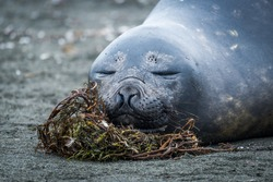 Close-up of elephant seal sleeping on beach