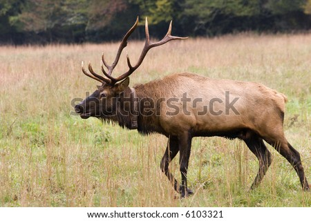Close Up of Elk with Large Antlers