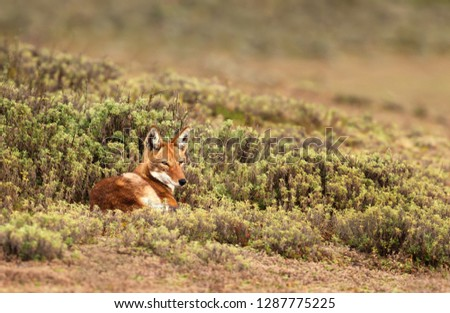 Close up of endangered Ethiopian wolf  (Canis simensis) lying in Bale mountains, Ethiopia. #1287775225