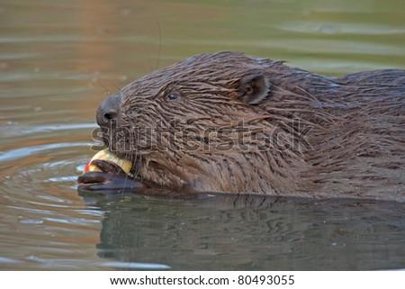 Close-up of Eurasian beaver (Castor fiber, male)