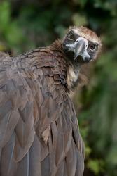 Close up of Eurasian black vulture Cinereous Vulture