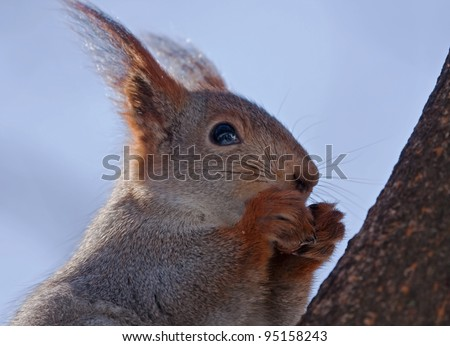 Close-up of Eurasian red squirrel