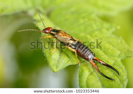 Close-up of European earwig over a leaf. Highly detailed macrophotography of male exemplar of Forficula auricularia in tomato plants at orchard
