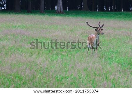 close up of European Fallow deer (dama dama in latin) Foto stock ©