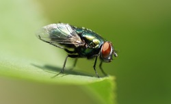 Close up of European green blowfly on leaf