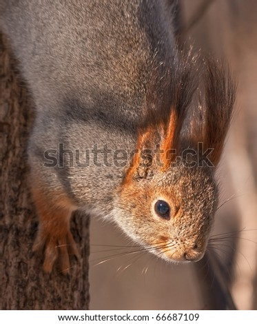 Close up of European red squirrel