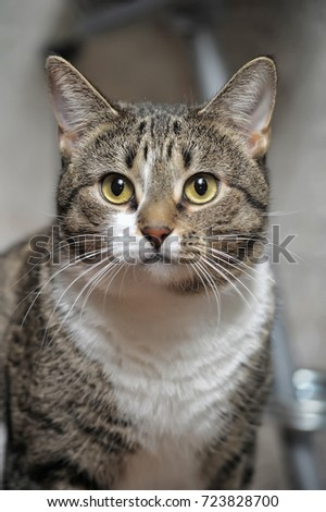 CLOSE-UP OF EUROPEAN SHORTHAIR CAT #723828700