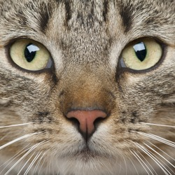 Close-up of European Shorthair cat, 9 months old
