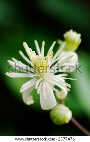 Close up of Evergreen Clematis (Clematis vitalba) flower, also known as Old Man's Beard or Traveler's Joy; shot against dark background with shallow DOF - stock photo