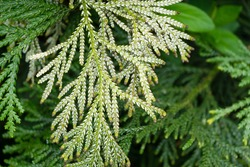 Close-up of evergreen leaves on back side of branch Thujopsis dolabrata, also called hiba, false arborvitae, or hiba arborvitae. Plant grows in Arboretum Park Southern Cultures in Sirius (Adler) Sochi