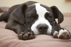 Close-up of face and paws of Pit Bull puppy sleeping on bed