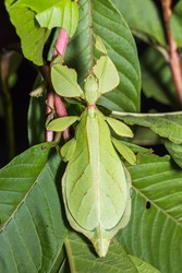 Close up of female leaf insect (Phyllium westwoodi) on its host plant, dorsal view