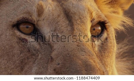 Stock Photo Close up of female lion's face in African bushveld, Namib desert, Namibia.