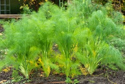 Close up of Fennel growing (Foeniculum vulgare)