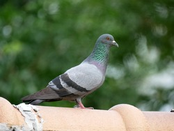 Close up of Feral Pigeon standing on roof with green bush background. It also called city doves, city pigeons, street pigeons, or flying rats