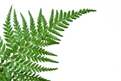close up of fern in white background, ( soft image and pastel color) ideal use as background.shallow dept of field