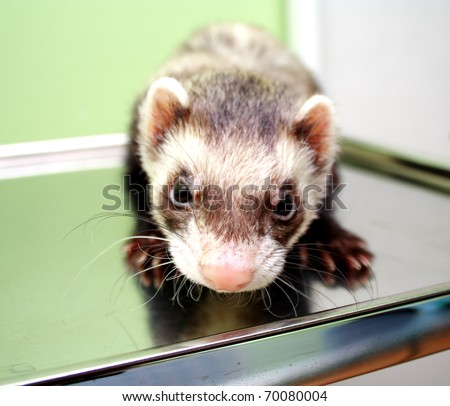 Close-up of ferret on the iron table - stock photo