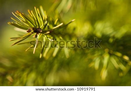 close-up of fir tree needles