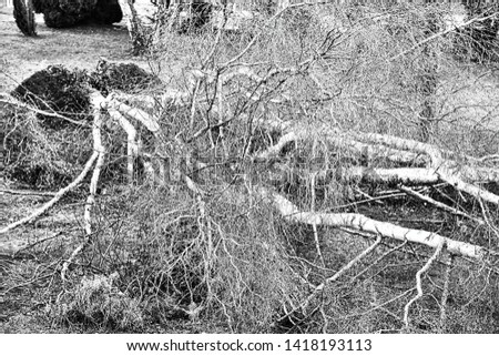 Close up of five big birch trees are downed in garden after strong tornado and wing storm. Disaster for insurance company in France Europe. Black and white picture
