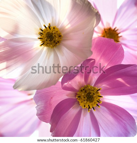 Close-up of flower against white background . Opposite light. Shallow depth of focus #61860427