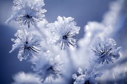 Close up of flower covered with ice and snow