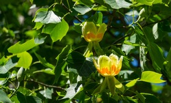 Close up of flower of Tulip tree (Liriodendron tulipifera) on branch in Arboretum Park Southern Cultures in Sirius Sochi. American Tuliptree  or Tulip Poplar on blue background. Selective focus