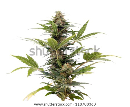Close up of flowering Cannabis lowrider plant