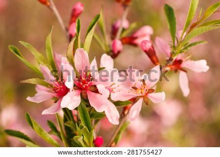 Close up of flowering dwarf almond bush in Yamskaya Steppe protected area in Belgorod region, southern Russia