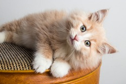 Close up of fluffy, light buff orange kitten with blue eyes. 2 months old kitten with white chest and paws ready for adoption. 8 week old baby cat with long hair. Playful young ginger cat resting.