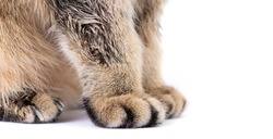 Close-up of fluffy paws of golden scottish fold cat