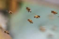 Close up of flying honey bees into beehive apiary Working bees collecting yellow pollen