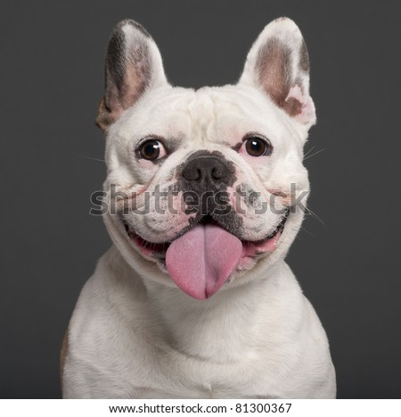Close-up of French Bulldog, 3 years old, in front of grey background