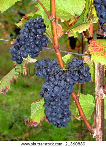 Close up of french red bunch grapes Pinot noir in Alsace region - France
