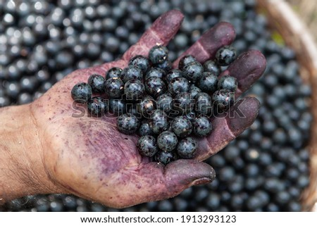 Close up of fresh acai berries fruit in man's dirty hand during harvest in the amazon rainforest, Brazil. Selective focus. Concept of food, healthy, environment, ecology, agriculture, harvest, nature.