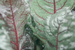 Close up of fresh beet leaves with rain drops. Pattern of circulatory system, veins  and arteries