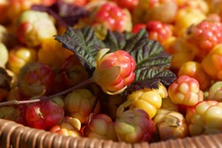 Close-up of fresh cloudberry (Rubus chamaemorus) in a basket. A ripening  cloudberry. Season: Summer. Location: Western Siberia.