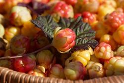 Close-up of fresh cloudberry (Rubus chamaemorus) in a basket. A ripening  cloudberry. Season: Summer. Location: Western Siberia.