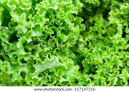 Close up of fresh frilled lettuce.