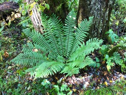 Close up of fresh green Cinnamon fern under a tall tree in the forest for background and natural concept.