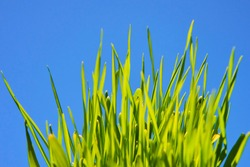 Close up of fresh green grass in sunny day with blue sky background. High selective focus. Shallow depth of field